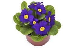 Purple primrose flowers Stock Photo