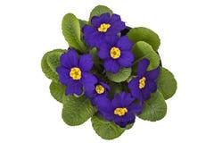 Purple primrose flowers Royalty Free Stock Image