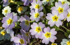 Purple primrose. stock images