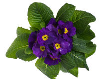 Purple primrose isolated on white Royalty Free Stock Photos