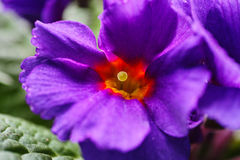 Purple primrose macro Stock Image
