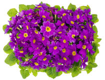 Purple primrose top view Royalty Free Stock Photos