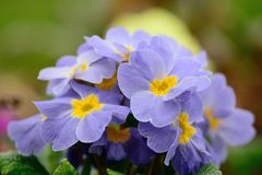 Purple primroses. Blooming in the garden Royalty Free Stock Photography