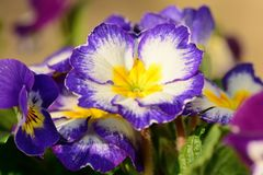 Purple primroses. Close up of purple and white primroses Royalty Free Stock Photo