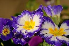Purple primroses. Close up of purple and white primroses Stock Photo