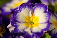 Purple primroses. Close up of purple and white primroses Royalty Free Stock Image