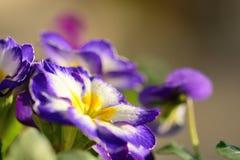 Purple primroses. Close up of purple and white primroses Royalty Free Stock Photos