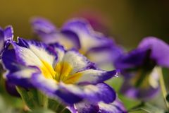 Purple primroses. Close up of purple and white primroses Royalty Free Stock Images