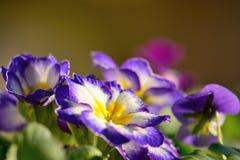 Purple primroses. Close up of purple and white primroses Stock Image