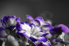 Purple primroses. Colorsplas of purple and white primroses Royalty Free Stock Images