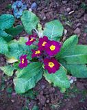 Purple primroses. primula vulgaris in early spring royalty free stock photography