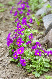 Purple primroses (primula vulgaris) Royalty Free Stock Photography