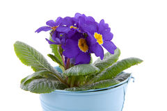 Purple Primula flowers in blue bucket Royalty Free Stock Photo