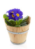 Purple Primula flowers in bucket isolated on white background Stock Image