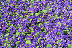 Purple Primula Royalty Free Stock Images