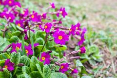 Purple primula flowers. In a spring park stock images