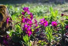 Purple primula flowers. In a spring park stock photo