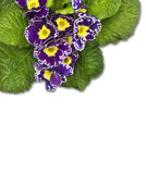 Purple primula with green leaves  border , isolated Stock Photography