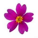 Purple Primula Stock Photo