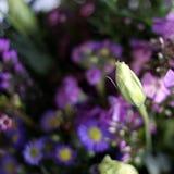 Purple Primulas Stock Images