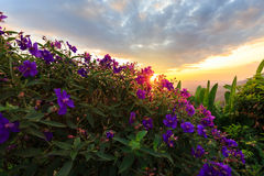Purple princess or brazilian spider or Glory Bush flower in suns Royalty Free Stock Photos
