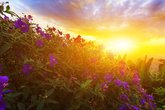 Purple princess or brazilian spider or Glory Bush flower in suns Royalty Free Stock Photography