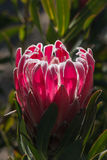 Purple protea flower Stock Photography