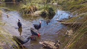 Purple Pukeko and Ducks being feed in pond stock video