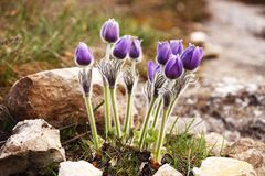 Purple Pulsatilla grandis Royalty Free Stock Image