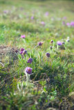 Purple Pulsatilla Grandis Stock Photography