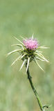 Purple Purity Flowers  thistle teasel. Tuscany Italy Maremma Spring Biologic Agricuture Stock Photography