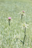 Purple Purity Flowers  thistle teasel. Tuscany Italy Maremma Spring Biologic Agricuture Stock Photo