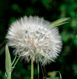 Purple Purity Flowers   White dandelion. Tuscany Italy Maremma Spring Biologic Agricuture Stock Photo