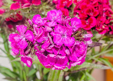 Purple, purple Dianthus flowers Royalty Free Stock Photo