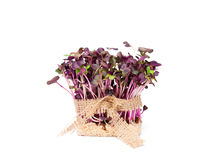 Purple  radish fresh sprouts with sack cloth ribbon isolated Royalty Free Stock Photography