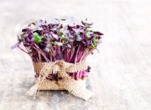 Purple  radish fresh sprouts with sack cloth ribbon on wooden ta Stock Photography