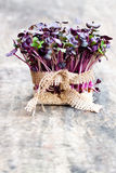 Purple  radish fresh sprouts with sack cloth ribbon on wooden ta Royalty Free Stock Photos