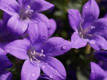 Purple Rain. Water droplets on campanula stock photo