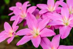 Purple rain lily flower Royalty Free Stock Photo