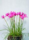 Purple rain lily flower Stock Images