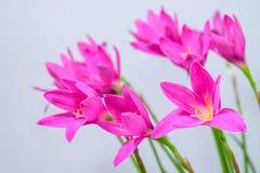 Purple rain lily flower Royalty Free Stock Photography