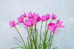Purple rain lily flower Royalty Free Stock Photos