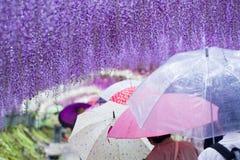Purple Rain of Kawachi Wisteria. Visitors throng to the 200-meter-long Wisteria Tunnels of Kawachi Fuji-en in Fukuoka, Japan royalty free stock image