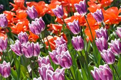 Purple and red blooming tulips field Royalty Free Stock Images