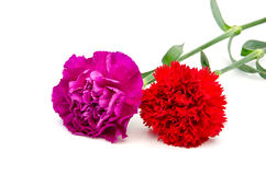 Purple and Red carnation flowers Stock Image