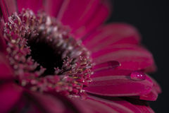 A purple/red flower closeup, with a drop of water on one petal Royalty Free Stock Image