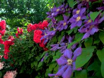 Purple and red flowers. On green leaves wall Royalty Free Stock Image