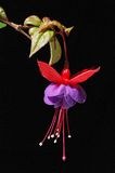 Purple and red Fuschia. Picture of a purple mauve and red hanging fuschia. Black background Royalty Free Stock Photo