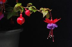 Purple and red Fuschia. Picture of a purple mauve and red hanging fuschia. Black background Stock Image