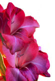 Purple or Red Gladiolas Isolated on white Royalty Free Stock Photo